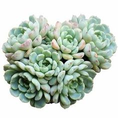Echeveria Minima is native to Mexico. It is a cute miniature Echeveria that freely produces offets, forming tight clumps of lovely little rosettes. Blue Plants, Small Plants, Indoor Plants, Succulent Gifts, Succulent Care, Succulent Seeds, Echeveria, Cacti And Succulents, Planting Succulents