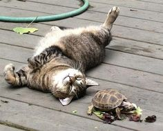 The tabby & the tortoise.
