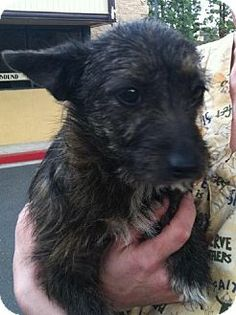 Mission Viejo, CA - Scottie, Scottish Terrier/Terrier (Unknown Type, Medium) Mix. Meet Miss Molly a Dog for Adoption.