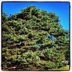 """Keisarinmänty Pikku-Parolassa   """"Jos yksinäiset puut kasvavat, ne yleensä kasvavat vahvoiksi.""""          - Winston Churchill Winston Churchill, Finland, Culture, Places, Instagram Posts, Lugares"""