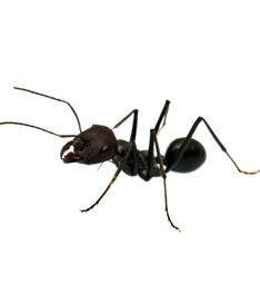 Perth Pest Control can remove your unwanted White Ants in no time at all. Our specialist team are the experts in Ant removal and offer a full range of services to suit,