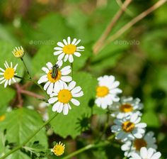plant of camomile