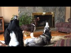 English Springer Spaniel annoying a husky, which leads to a lot of howling. They are performing what I guess you could call some sort of trio.