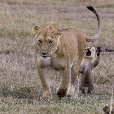 "kerensplace: "" A cheeky lion cub tries, and fails, to grab his mother's tail in the Masai Mara, Kenya, Africa. British photographer Ed Brown says: This little guy had way too much energy and always wanted to play, somehow mum, without even looking,..."