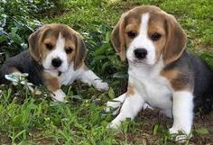 beagles. :)