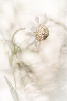white daisy// via fivehundredpx White Flowers, Beautiful Flowers, Daisy, Bokeh Photography, Photography Flowers, Shades Of White, Gras, Ethereal, Pure Products