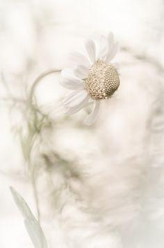 Flor de manzanilla. #blanco #white #flor #manzanilla