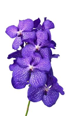 Kanchana ® Magic Blue Anco Pure Vanda - #orchidee #bloem #flower
