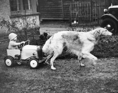 Yes, this horse of a dog. (Borzoi)