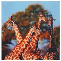 Four Prairie Giraffes Photographic Print on Wrapped Canvas