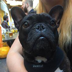 THE BOSS French Bulldog, Boss, Friends, Animals, Amigos, Animales, Animaux, French Bulldog Shedding, Bulldog Frances