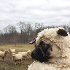 """""""Day 6, and so far they suspect nothing..."""", a Frenchie in Sheep's clothing, a very Funny French Bulldog. #pug"""