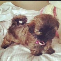 Bridie girl as a puppy! Shih tzu puppy