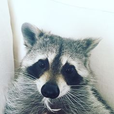 """Um, excuse me...Is there something in my teeth?"" 🎃 #pumpkintheraccoon #raccoon  #weeklyfluff #instagood #instadaily #instagram #pet #love #petsofinstagram #rescue #bahamas"