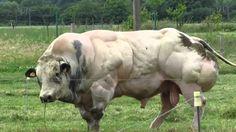 Бельгийская голубая мясная порода коров   Несмотря на большую мышечную массу, отел происходит у коров достаточно легко. Имеет короткий период стельности. Возраст первого отела 28–35 месяцев. Вынашивание бычка составляет 285 дней, а телочки 281 день.  Телята рождаются с весом 38–60 кг телочки и 40–75 кг бычки. Мускулатура при рождении у них не выражена, начинает проявляться к 4 недели жизни. К 16–18 месяцам такие бычки уже весят до 750 кг.  Таких коров можно встретить в германии, Франции…