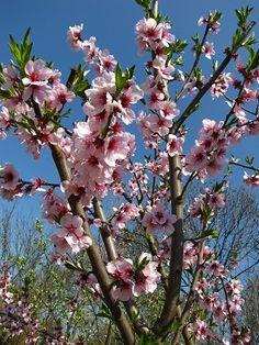 Amandel bloeit