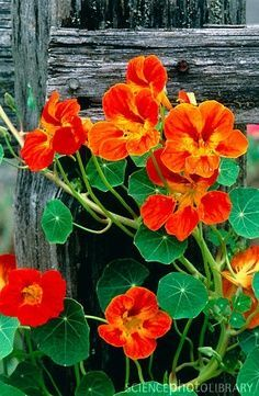 Old fences and nasturtiums