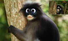 Googly-eyed monkeys look like they're straight out of a cartoon - Dusky Langurs Unusual Animals, Cute Animals, Wild Animals, Kaeng Krachan National Park, Cartoon Live, Ape Monkey, Animal Antics, Baboon, Orangutan