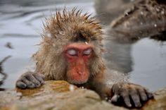 DESKTOP VIEW  Snow monkey chillin' in a hot spring, Nagano, Japan