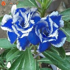 Desert Rose Seeds Blue with White Side Garden Home Bonsai Balcony Flower Adenium Obesum Seeds 1 Particles / lot(China (Mainland))