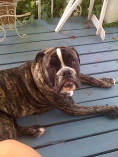 My big loveable Victorian Bulldog, Rambo :)