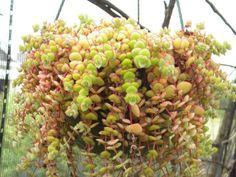 Crassula pellucida - See more at: http://worldofsucculents.com/crassula-pellucida