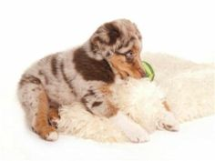 Australian Shepherd Deckrüden,Australian Shepherd Rüden,Australian Shepherd Züchter,Deckrüden,Aussies,Welpen - Bildergalerie - Nachzucht Luk...