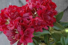 Product Description    Bloom Color:   Red    Bloom Season:       Late Season    Plant Height(potential in 10 years): 4 feet    Hardy to: -10 F      Our quart size plants are plants in their second season.  They are usually about 5 to 6 inches tall and their roots fill a quart size container.  These plants are ready to go into the ground with a bit of extra care or can be transplanted into a two gallon container for further growth.    For shipping, I remove them from their quart container and…