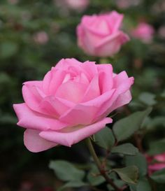 Hybrid Tea Rose: Rosa 'Beverly' AKA 'Pink Perfection' (Germany, 1999)