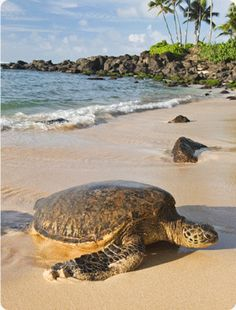 Hawaiian Green Sea Turtles Honu Often Relax Along North S Beaches Be Mindful Of Their E As They Re Protected By Law