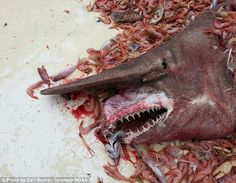 This rare 18-foot pink goblin shark was caught off the Florida Keys...