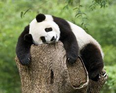 Panda preparing to rest Animals And Pets, Funny Animals, Cute Animals, Wild Animals, Exotic Animals, Animals Photos, Photography Day, Wildlife Photography, Sleeping Panda