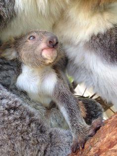 Koala Joey's First Day Out at Taronga Zoo