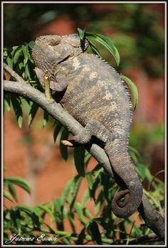 Chameleon - Antsirabe, Madagascar / por yasmina saoudi en 500px