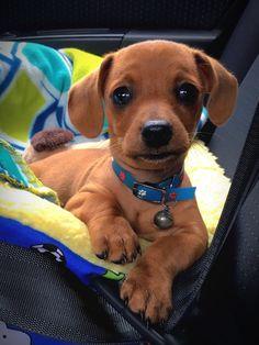My Dachshund puppy looks like a stuffed dog. : aww