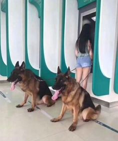 Wicked Training Your German Shepherd Dog Ideas. Mind Blowing Training Your German Shepherd Dog Ideas. Cute Funny Animals, Funny Animal Pictures, Funny Dogs, I Love Dogs, Cute Dogs, German Sheperd Dogs, German Shepherds, Shepherd Dogs, Malinois