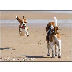 Beagle fun at the beach