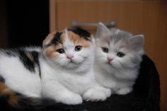 Deux chatons scottish