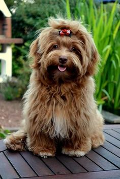 Amazing Havanese Puppy Colors Havanese Puppies Sable Source by The post Havanese Puppies Sable appeared first on Dolan Dogs. Havanese Haircuts, Havanese Grooming, Dog Haircuts, Havanese Puppies, Dog Grooming, Cute Puppies, Dogs And Puppies, Puppies Tips, Maltipoo