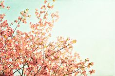 """Spring Photography - peach mint green dogwood tree blossoms branches nature wall print shabby chic - 11x14, 8x12 Photograph, """"A May Morning"""""""