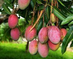 Mangos de Nayarit