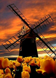 Fake - Windmill and Tulips in Holland or words to that effect. The windmill is actually in England at a place called Paston in Norfolk and not in Holland or The Netherlands and the sunset and Tulips have probably been added artificially as part of the 'Worth 1000. Com' logo is just visible in the bottom left of the picture.