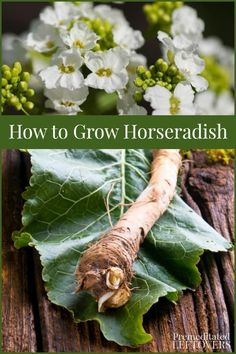 This guide on how to grow horseradish includes everything you need to know about growing horseradish roots and caring for horseradish plants in your garden.#gardeningtips #gardening Horseradish Plant, Growing Horseradish, Growing Herbs, Growing Vegetables, Growing Ginger, Root Vegetables, Organic Gardening Tips, Vegetable Gardening, Texas Gardening