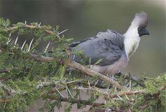 Bare-faced Go-away-bird (Corythaixoides personatus) A bird in a thorn tree.