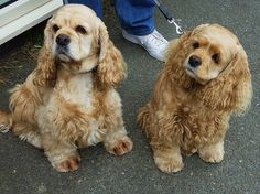 """Find out more information on """"spaniel dogs"""". Look into our web site. American Cocker Spaniel, Cocker Spaniel Puppies, Animals And Pets, Baby Animals, Cute Animals, Spaniel Breeds, Dog Breeds, Cocker Spaniel Americano, Cute Puppies"""