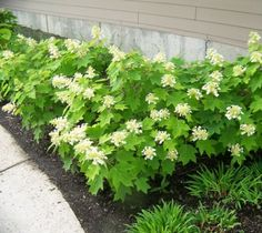 Sikes Dwarf Oakleaf Hydrangea Hydrangea quercifolia 'sikes dwarf' 'Sike's Dwarf' is a dwarf mounded cultivar that matures to only 3-4' tall and to 3-4' wide. It differs from the species by growing muc