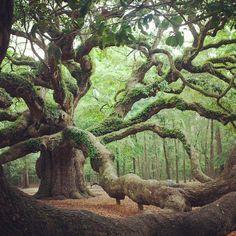 Angel Oak Tree in Angel Oak Park, on Johns Island, Southern Carolina