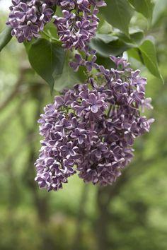 Lovely #lilacs.