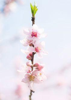 tiny atlas quarterly | a giveaway. / sfgirlbybay cherry blossom?