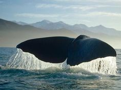 Whale - photographed by Flip Nicklin